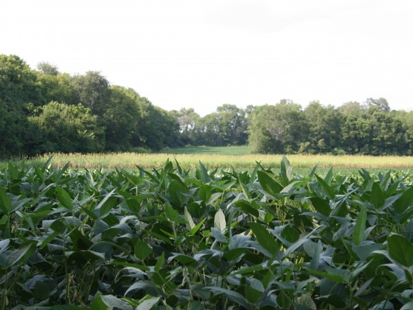 Crops Grow at The Hermitage Plantation